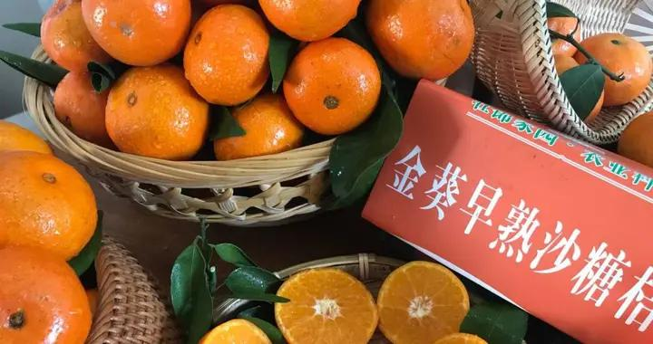 金秋、金葵华丽登场,开启早熟砂糖橘味蕾体验