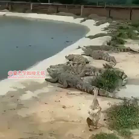 鸭子误闯鳄鱼池