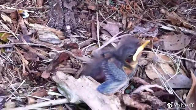 发现一只掉出鸟巢的幼鸟,嗷嗷叫着鸟妈妈救命