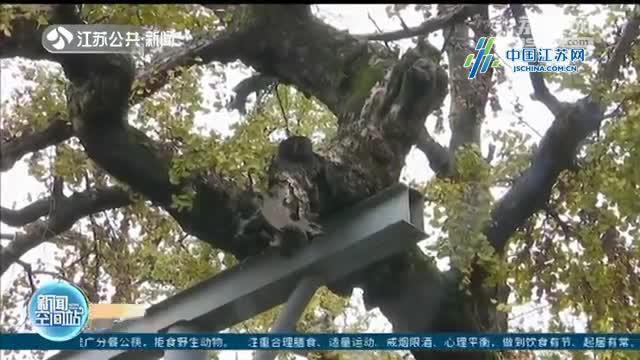 无锡滨湖:江苏全省首创!为古树名木投保