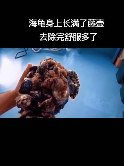 捞上来一只海龟,身上长满了藤壶和其他贝壳,救助全过程