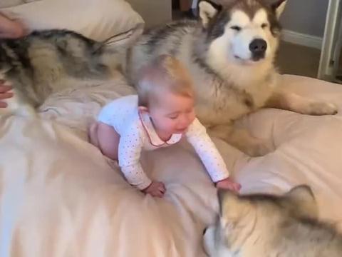 主人带阿拉斯加犬回老家,见到奶奶后很激动,撒娇的模样太可爱了