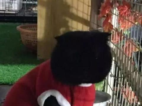 女孩养了一只纯黑猫,为了在夜里能够识别它,只得给它穿上马甲