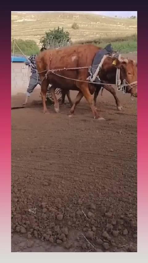 农村小伙耕地,多年来全是牛的功劳,这就是农村养牛的用处!