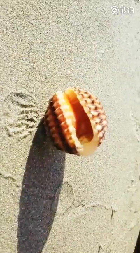 原来贝壳还可以走路