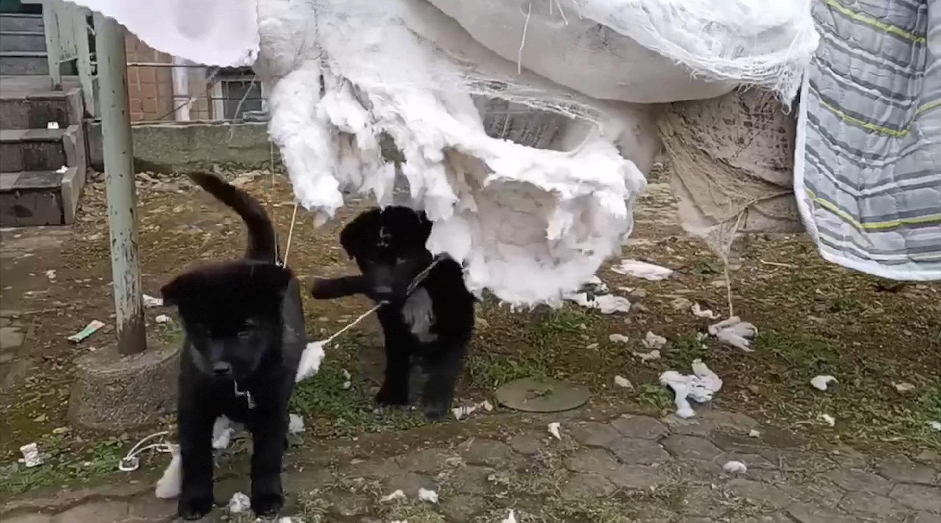笑哭了!两只小黑狗校园撒欢咬破学生晒的被子和衣服…………