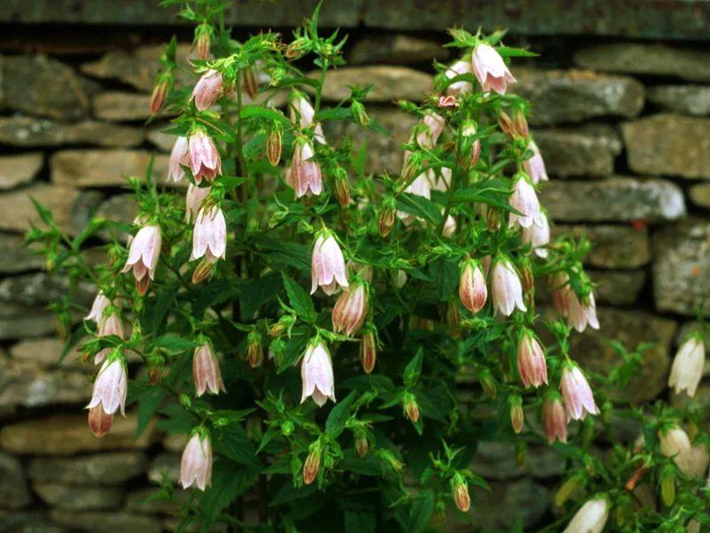 特别耐寒的紫斑风铃草,寒冷的冬季还在开花,每年可不断分株繁殖