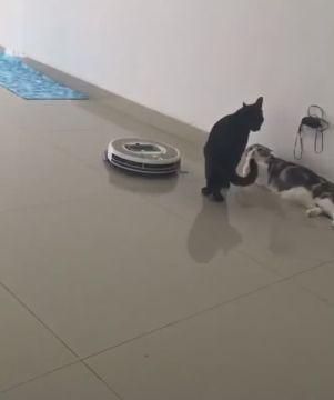 黑猫向同伴收保护费,扫地机器人来捣乱,黑猫:闪一边别没事找事