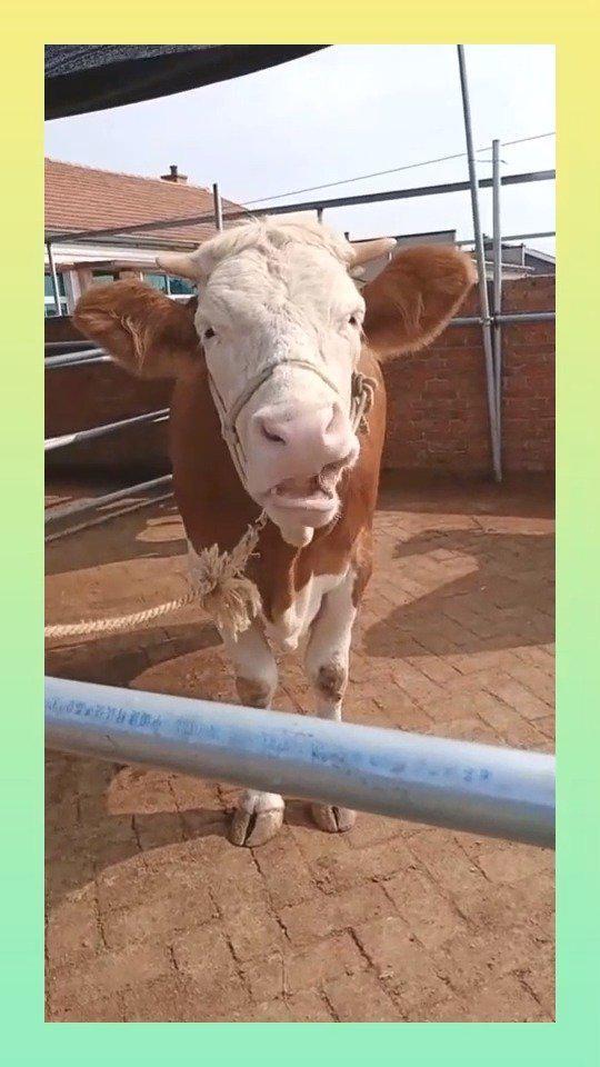 农村的牛只要有这样的症状,就是身体里面缺少微量元素…………