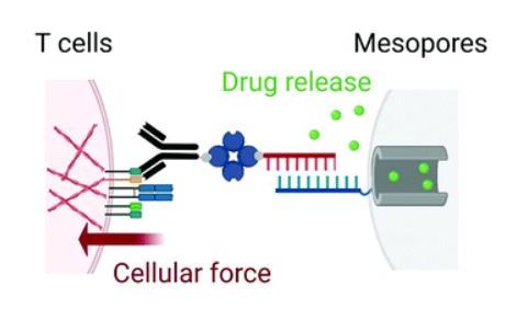 陈根:T细胞的物理施力,有效增强癌细胞杀伤
