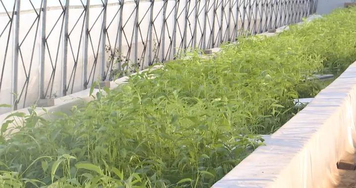 河北广平:鱼菜共生 生态种养助农增收