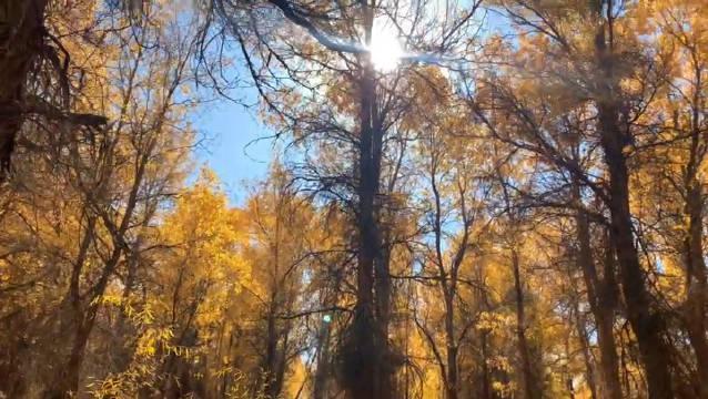 走进甘肃酒泉市的金塔胡杨林感受秋天的颜色