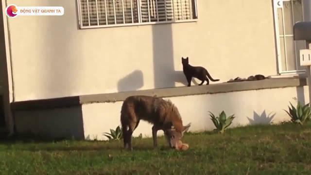 院子里闯进来一头狼,家里的黑猫大气都不敢喘