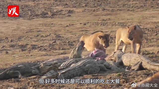 饥饿的狮子进入水中捕杀水牛,正准备吃大餐时,鳄鱼闻风赶来!