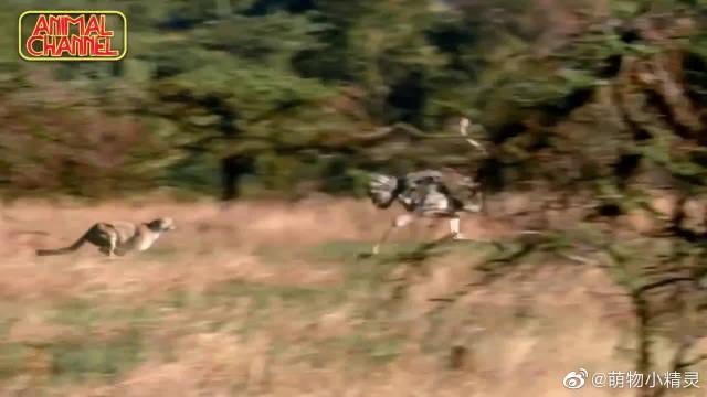 非洲草原上的速度之王与鸟类奔跑冠军角逐……