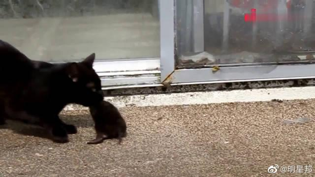 严厉的黑猫妈妈发现孩子乱爬,一口就咬住叼回家