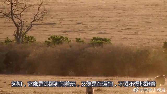 非洲二哥活吃角马,看着让人揪心