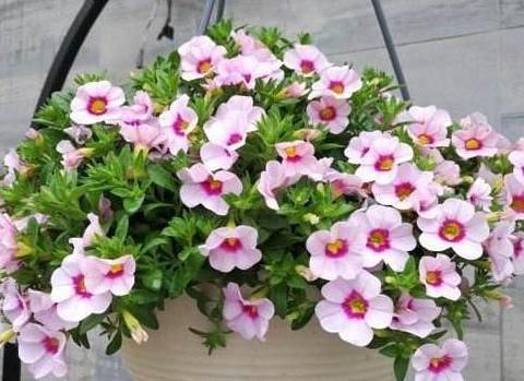 此种植物开花似小喇叭,五颜六色、数量多,多做垂盆花卉观赏