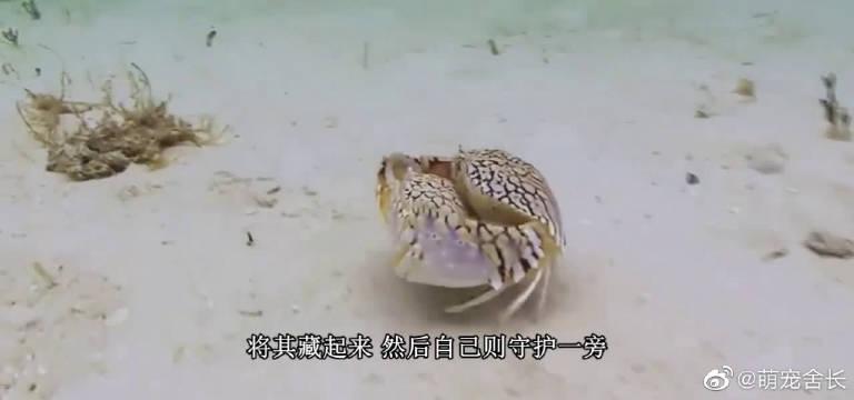 都说馒头蟹疼爱老婆,但现实当中它是个正儿八经的渣男