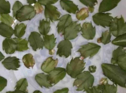 10月的蟹爪兰花芽不分化?关键3点做好,叶绿根壮花开爆满盆