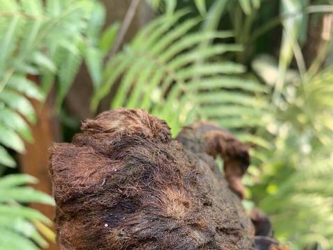 金毛狗蕨类植物,适合做盆景,枝干1米高,摆在客厅有品味