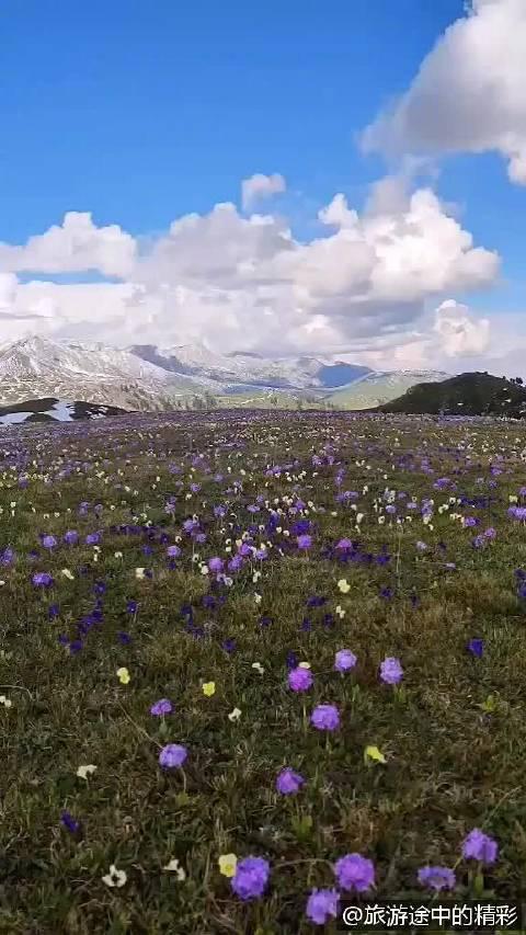 新疆伊犁天山深处,雪山附近的紫色野花!