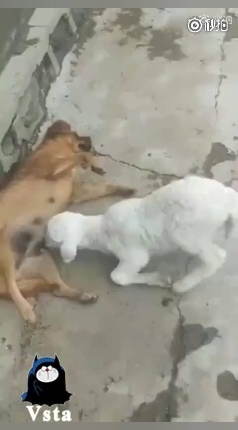 暴躁白羊,在线欺负狗子!蠢狗你胆敢逆我的意?怼死你!