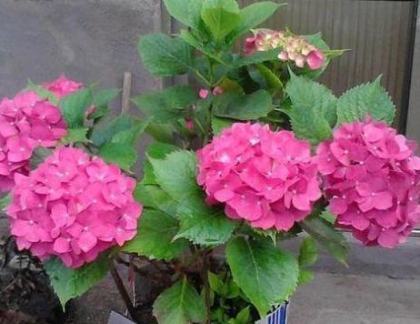 春天养绣球花该注意什么?4方面做好准备,植株夏季砰砰开爆盆