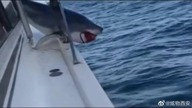 大鲨鱼跳到渔船,结果被卡住,太滑稽了