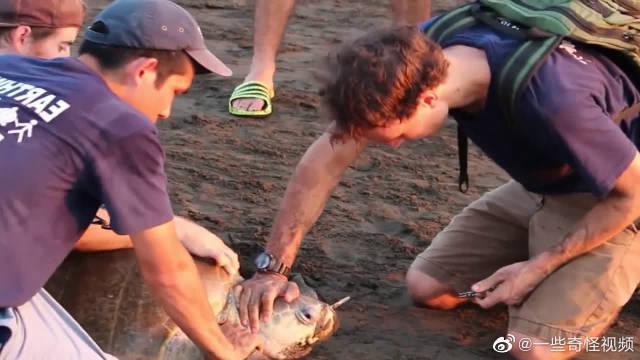 海龟鼻子里插了根塑料管,好心人用钳子把它取出来,看着让人心痛