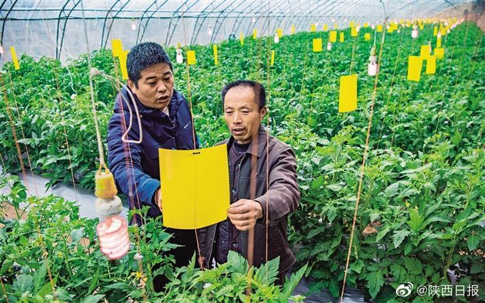 11月24日,在泾阳县云阳镇大里村淇辉农业西红柿大棚里…………