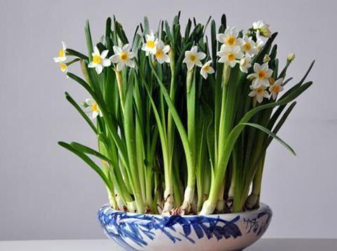 这花长得越矮,开花越多,一长高就剪掉,不然不开花!
