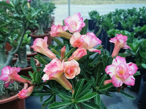 沙漠玫瑰温度低如何越冬?只需做好3点,春季直接开爆盆!