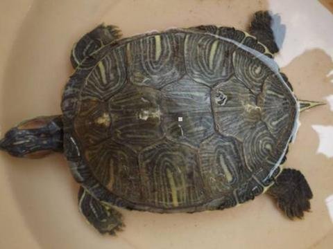 女子买菜回家,发现水箱里的乌龟不见了,找到后,想暴揍儿子一顿