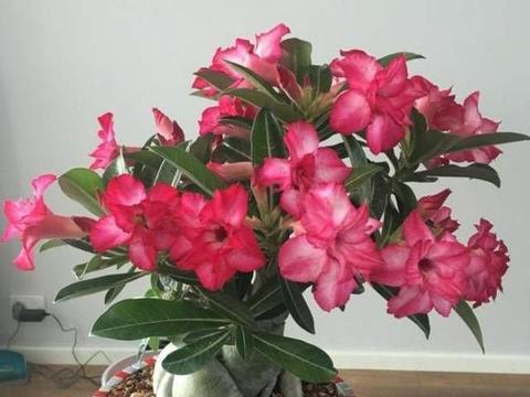 盆栽沙漠玫瑰怎么养开花多?平时做好5点,枝头挂满大红花