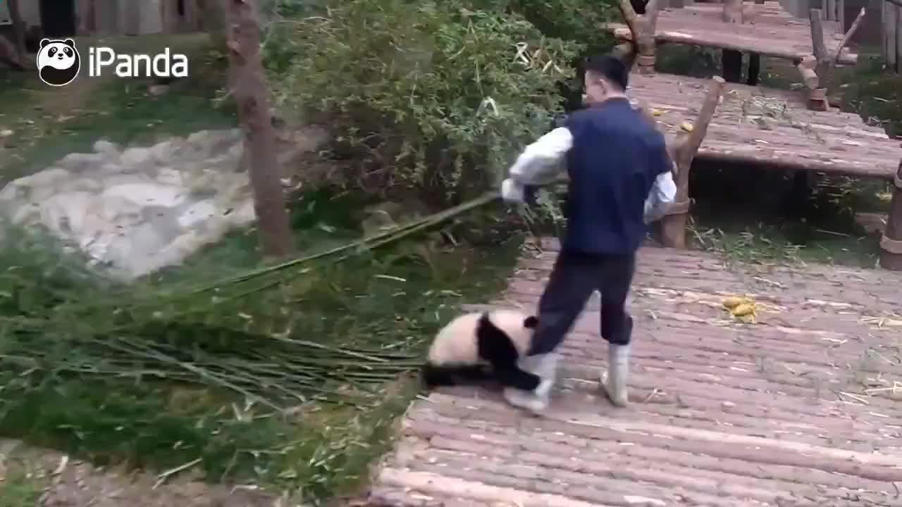 粘人的熊猫有多可爱,我不行了顶不住了