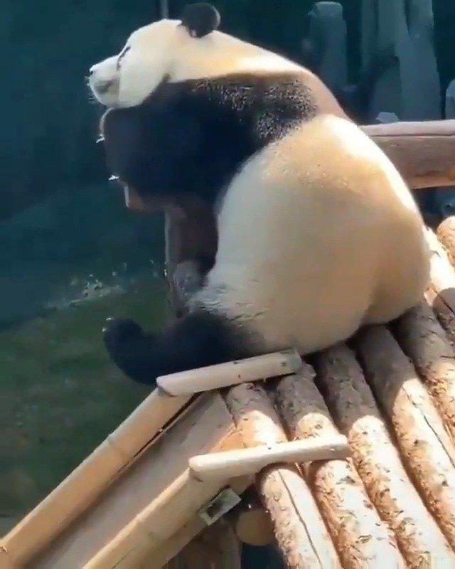 离休大熊猫