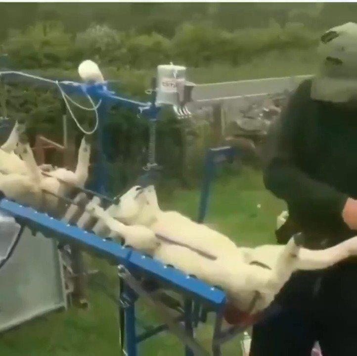 给小羊打疫苗,哈哈哈,有点可爱啊