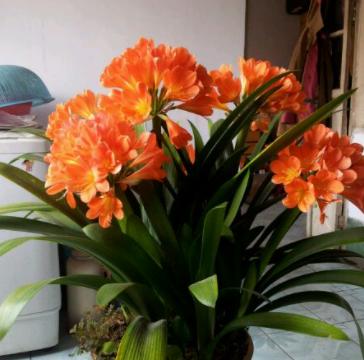 君子兰一棵开花太单调,教你做3步,养出一棵群兰,群开才漂亮!