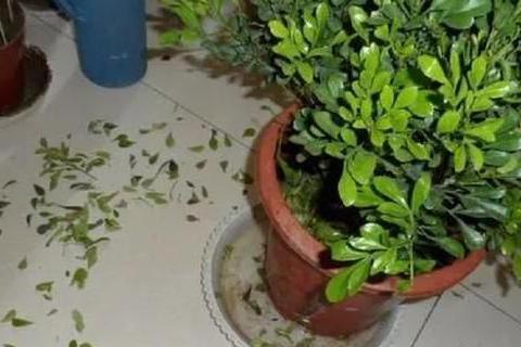 如何解决盆栽花叶发黄问题?5个小妙招,让植株不黄叶、长得旺