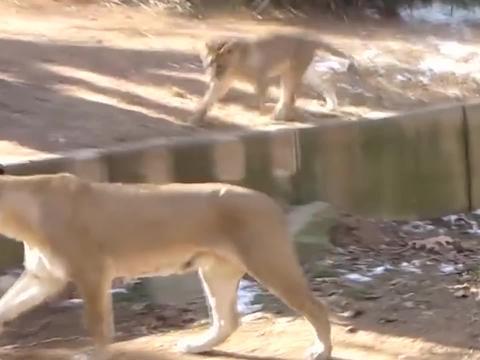 男子不慎掉入狮子园,回头正好和两头狮子大眼瞪小眼,这下完蛋了