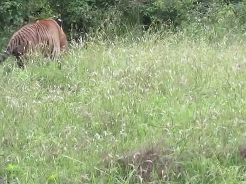"""生死决战?老虎觅食偶遇5m长的""""大虫"""",结局却让人意外"""
