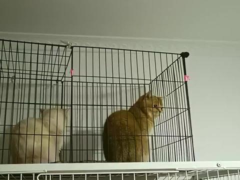大母猫想打小母猫,小母猫竟先动手,大母猫:不太疼,能使点劲不