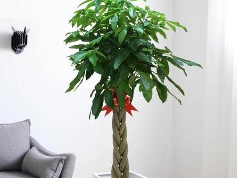 服盆期的发财树该如何管理?多注意4点要求,可早日萌发新芽