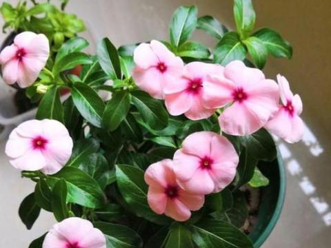 养盆长春花如何做到四季开花?多注意5点,冬季照样有花赏