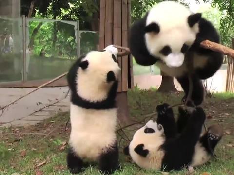 水管突然打到熊猫,熊团子越想越气,下一秒开始疯狂报复!