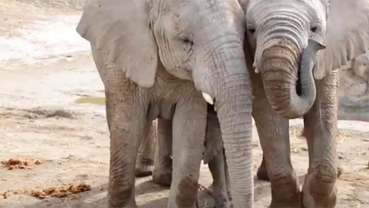 因干旱和物资匮乏,纳米比亚政府发广告拍卖170头野生大象