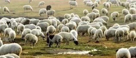 准备分羊了!蒙古国捐赠羊运到广西,这些人可以来领羊