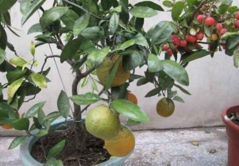 居家盆栽橘子树如何管理?学会4个小技巧,枝叶茂盛,坐果多