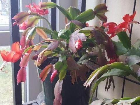 秋季刚买回来的蟹爪兰盆栽,掉花苞怎么办?牢记3点还有救